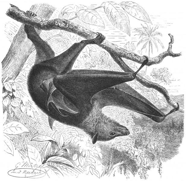 Chauve souris à Madagascar - via wikipédia Public Domain