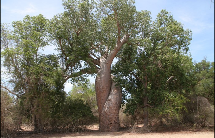 Baobabs - Madagascar - Image used by permission