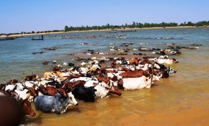 Les jeunes peuls traversant le fleuve avec les bœufs avec la permission de l'auteur