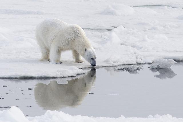 Polar Bears near the North Pole - Ours polaire au pôle nord par C. Michel sur flickr CC-BY-2.0